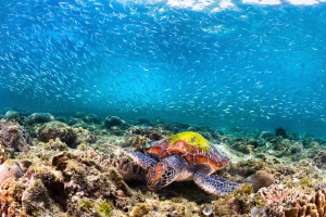 The two symbols of Moalboal - Sardines and Turtles by Tracey Jennings