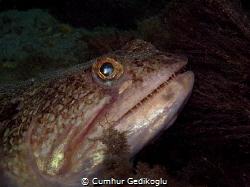 Synodus dermatogenys Sand lizard fish by Cumhur Gedikoglu