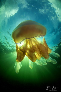 Barrel jellyfish (Rhizostoma pulmo), Lake grevelingen, Ze... by Filip Staes