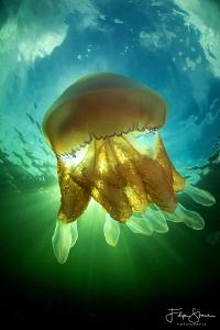 Barrel jellyfish (Rhizostoma pulmo), Lake grevelingen, Ze... by Filip Staes