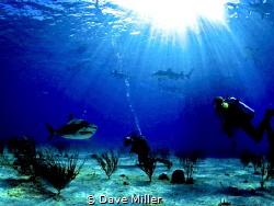 Tiger Beach, Bahamas/Canon 5D Mark II, fisheye lens, Ikel... by Dave Miller