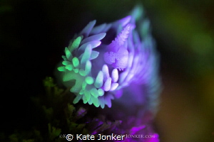 Silvertip Nudibranch shot with RRM and blue torch. by Kate Jonker