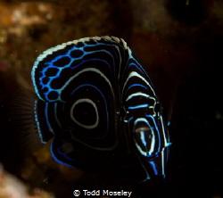 Juvenile Anglefish by Todd Moseley
