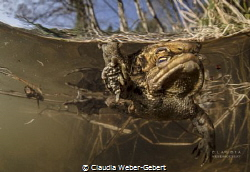 male toad in springtime by Claudia Weber-Gebert