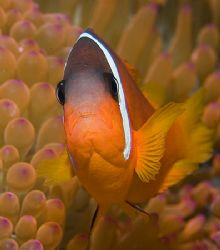 One of Fiji's colorful Anemonefish. by Jim Chambers
