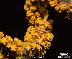 SHRIMP ON WHIP CORAL. Perfect mimetism by Eric Lambert