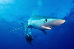 Blue shark by Tracey Jennings
