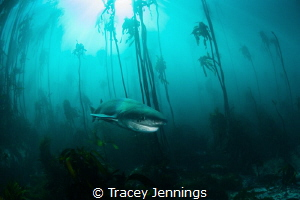 7 gill in the kelp by Tracey Jennings