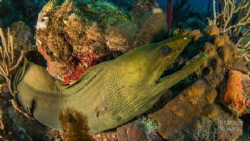 Large Green Morey Eel on the hunt by Frankie Rivera