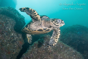 Turtle in the rocks, Acapulco México by Alejandro Topete