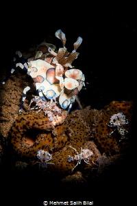 Harlequin shrimp family. by Mehmet Salih Bilal