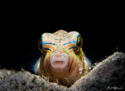 C U R I O U S Juvenile Toby Fish by Ton Ghela