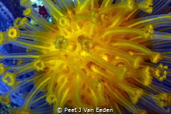 Sun-burst soft coral (m. capensis) is  the the only speci... by Peet J Van Eeden