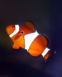 """They call him the """"False Percula Clown (Amphiprion ocella... by Michael Canzoniero"""