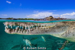 American Crocodile photographed at 16mm on Full Frame, no... by Robert Smits