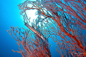 """""""Camouflage"""", Banda sea, Indonesia. by Filip Staes"""