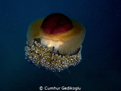 Cotylorhiza tuberculata Fried Egg Jellyfish by Cumhur Gedikoglu