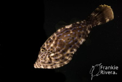 Filefish @ Night by Frankie Rivera