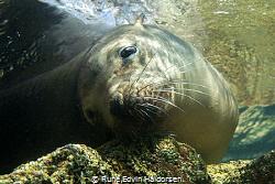 Portrait of a resting sea lion from Los Islotes, La Paz, ... by Rune Edvin Haldorsen