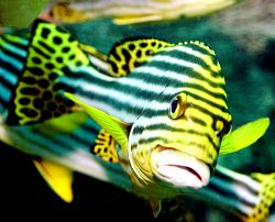 Sweetlips, Indonesia 2005 by Chris Wildblood
