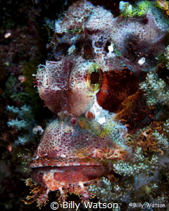 Scorpionfish are always a fun find.  The textures, endles... by Billy Watson