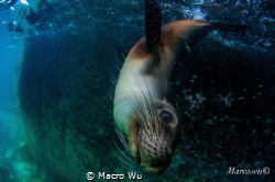 Curious baby sea lion by Macro Wu