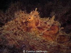 Octopus vulgaris Brown camouflage by Cumhur Gedikoglu