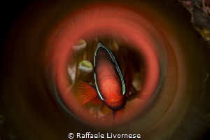 Clownfish in the tube by Raffaele Livornese