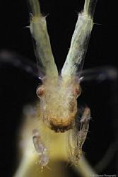 Extreme Super Macro  Face Skeleton Shrimp in details by Iyad Suleyman