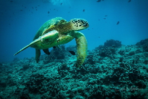 Green Sea Turtle swimming on one of the reefs of Waikiki,... by Chris Mckenna