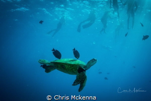 Green Sea Turtle swimming above one of the reefs of Waiki... by Chris Mckenna