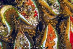 Giant Sea Clam- the legend is not true that it will drown... by Peet J Van Eeden