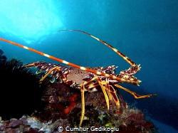 Palinurus elephas Spiny lobster by Cumhur Gedikoglu