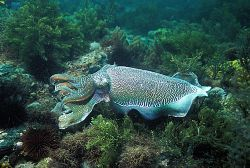 Australian Giant Cuttlefish male in full colour display. ... by Ron Hardman
