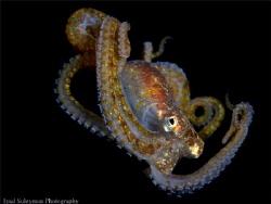 Juvenile octopus by Iyad Suleyman