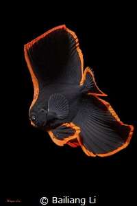 Juvenile Batfish by Bailiang Li