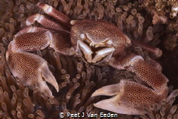 The Porcelain Crab derives its name from shedding a limb ... by Peet J Van Eeden