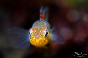 Two-spotted goby, Zeeland, The Netherlands. by Filip Staes