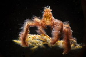 orangutan crab by Tracey Jennings