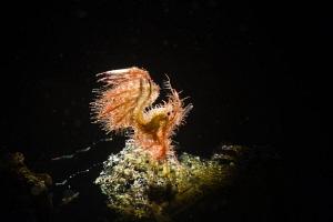 Tiny Hairy Shrimp by Tracey Jennings