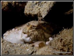 Yes I'm grumpy so what!!! Yeah this box crab seems to be ... by Yves Antoniazzo