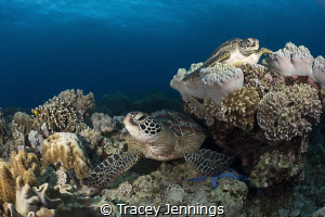 Turtles in Apo Island ... possibly the friendliest in the... by Tracey Jennings