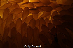 Eggs of rapana venosa backlited by Alp Baranok
