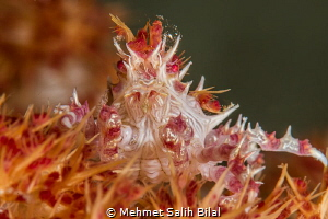 Candy crab. by Mehmet Salih Bilal