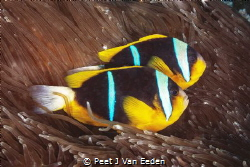 The Tenants- Two Bar Clownfishes by Peet J Van Eeden