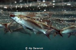 Feeding below surface by Alp Baranok
