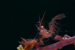 Red hairy shrimp by Julian Hsu