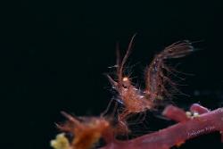 Red hairy shrimp by Julian Hsu