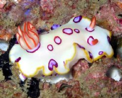 This is a nudebranch taken on a wreck called Inchcape 2 o... by Anna Wright