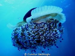 Cotylorhiza tuberculata BLUE by Cumhur Gedikoglu
